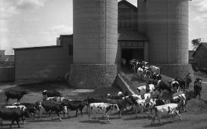 Cows returning to the barn